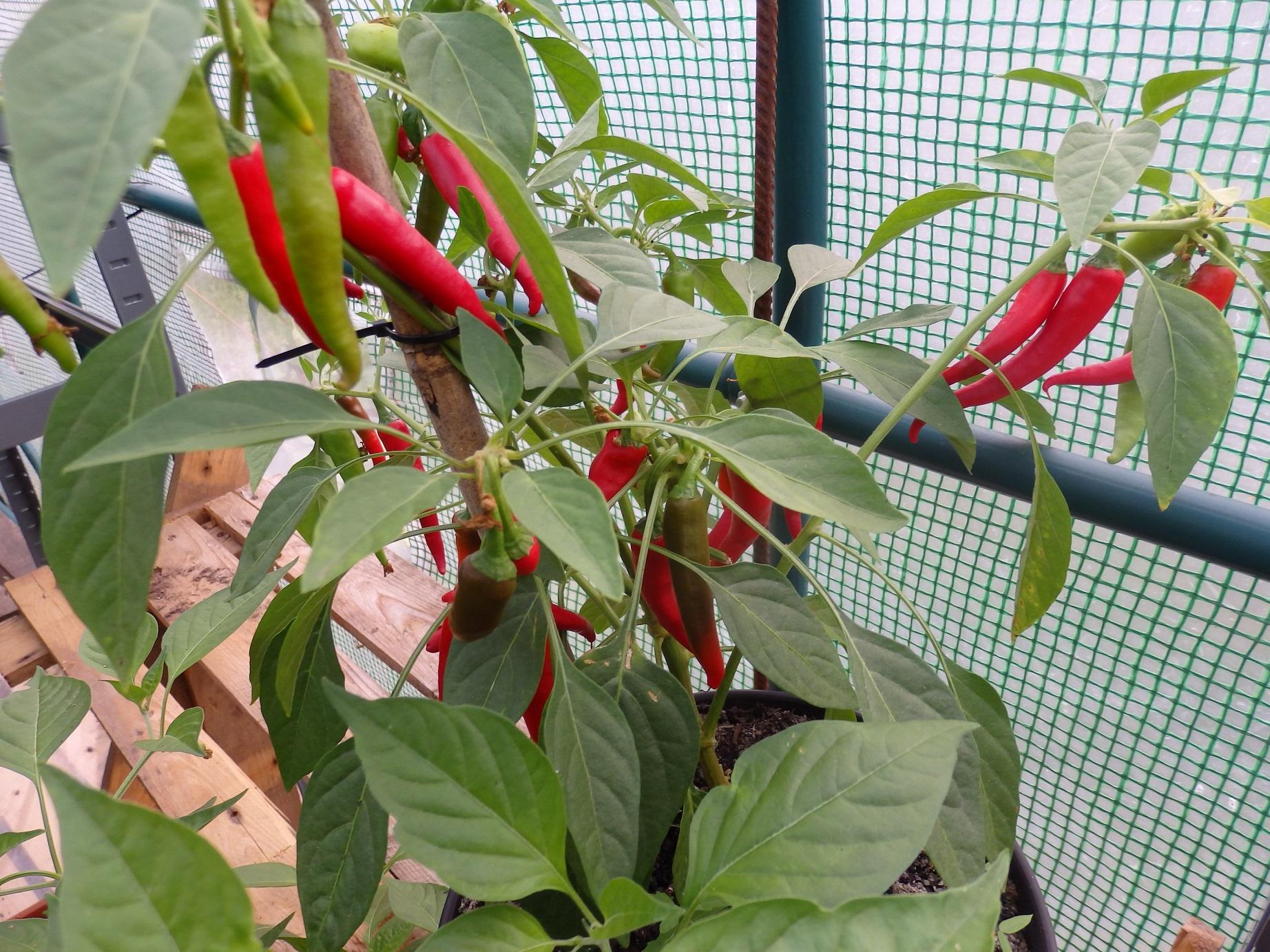 Cayenne chili paprika