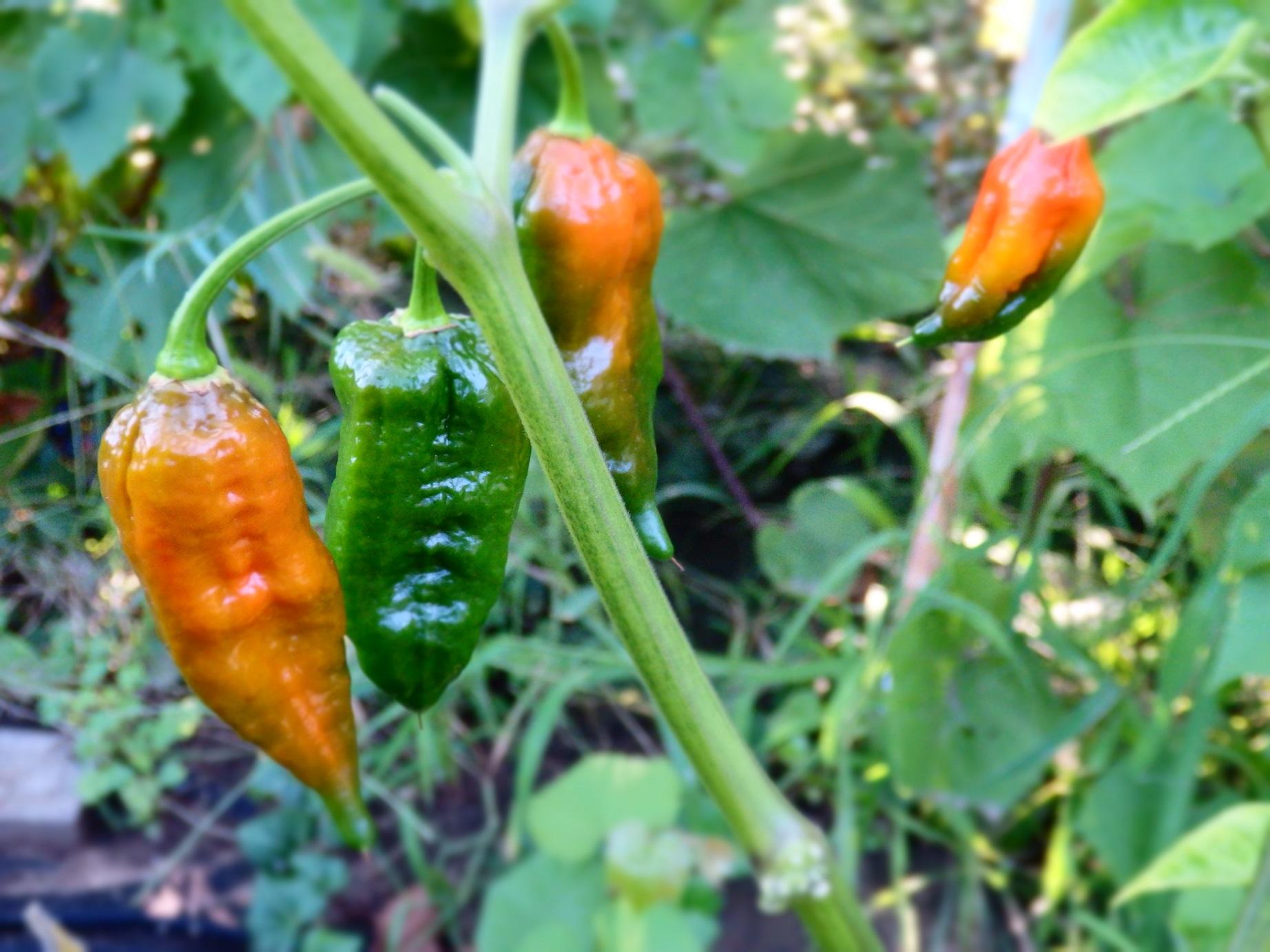 bhut jolokia ghost chili
