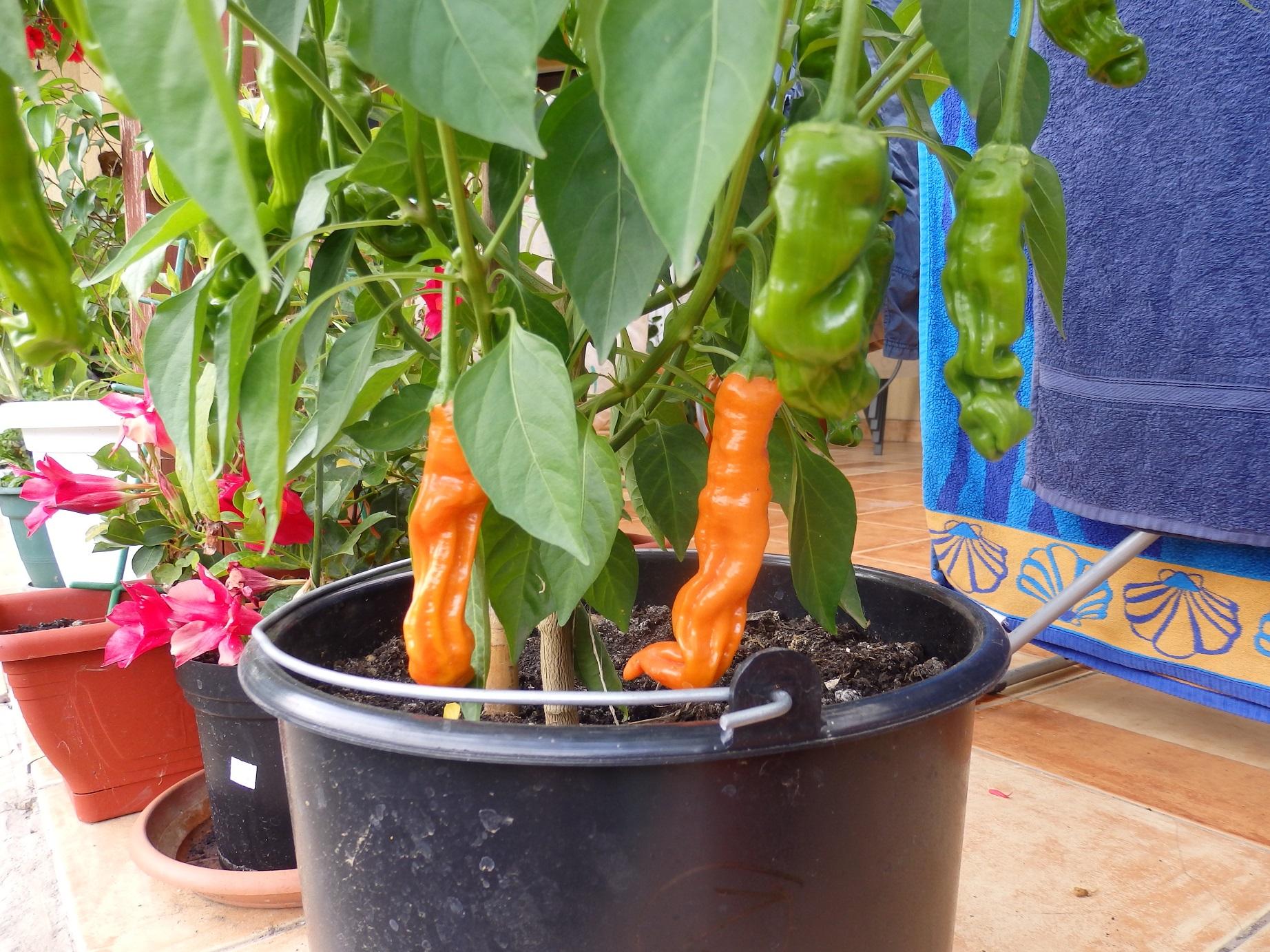 peter's pepper pöcs paprika